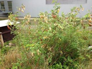 Blasenstrauch Früchte in Landquart