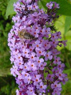 Budleia Davidi Sommerflieder mit Honigbiene