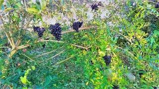 Liguster Früchte