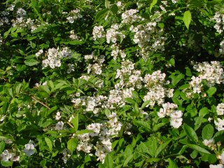 Rosa Multiflora vielblütige Rose