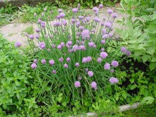 Allium schoenoprasum Schnittlauch Blüte