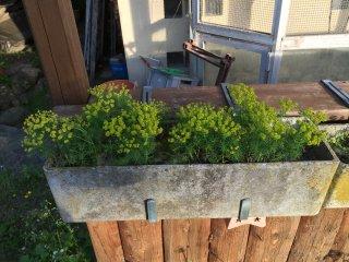 Euphorbia cyparissias Zypressenwolfsmilch eignet sich sehr für Geranienkisten