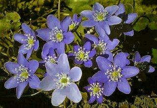 Anemone hepatica Leberblümchen Blüte