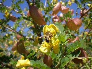 Colutea arborescens Gelber Blasenstrauch mit Megachile ericetorum