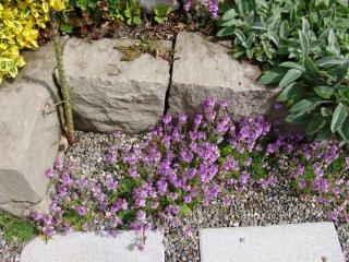 Erinus alpinus Alpenleberbalsam Pflanze