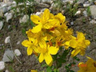 Hypericum perforatum Echte Johanniskraut Blüte