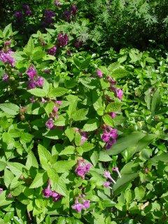 Melittis melissophyllum Immenblatt Pflanze