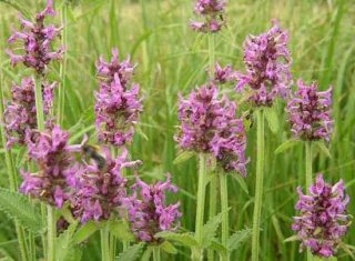 STACHYS OFFICINALIS Heilziest Pflanze