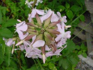 Saponaria officinalis Seifenkraut Blüte