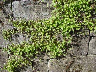 Cymbalaria-muralis-Zimbelkraut-Pflanze