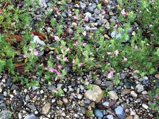 Ononis-spinosa-Dornige-Hauhchel-Pflanze