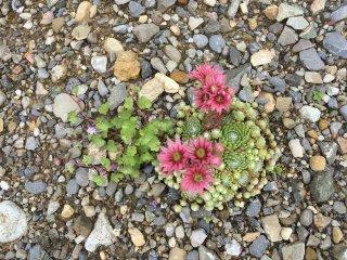 Sempervivum-arachnoideum-Spinnweb-Hauswurz-Blüte